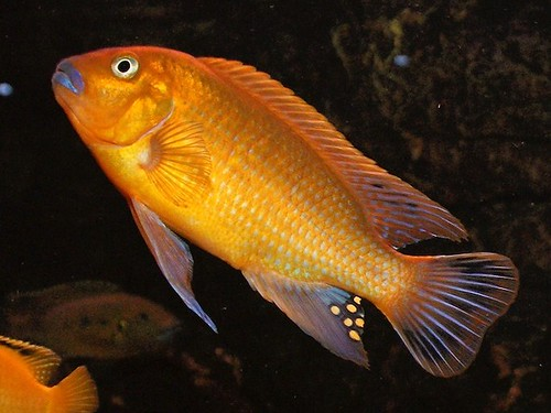 Pseudotropheus sp. 'williamsi north' Makonde
