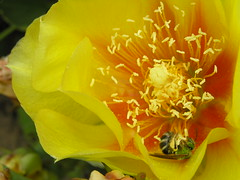 Cactus Pollinator (eyriel) Tags: summer cactus flower green nature yellow garden insect bee photocontesttnc11 dailynaturetnc11