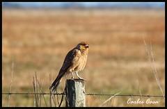 (Carlos Casa) Tags: naturaleza bird nature canon eos rebel is ave campo pajaro efs ef xsi 456 f456 450d 55250 55250mm
