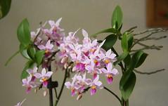 Phalaenopsis equestris (blumenbiene) Tags: flowers plant orchid flower indoor phalaenopsis phal orchidee blüte blüten zimmerpflanze kindel equestris offshoot ableger