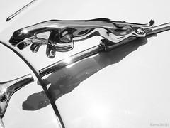 Jaguar (KrvZ) Tags: white black car cat lumix panasonic jag jaguar fs10 thechallengefactory classib
