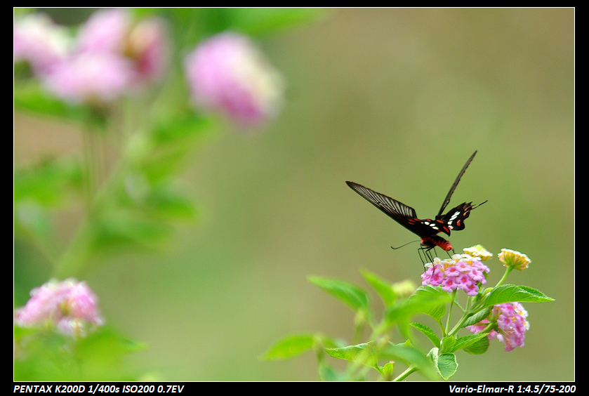 新竹-枋寮有荷,九芎湖蝶