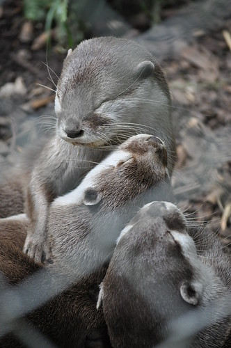 New Forest Wildlife Park - Cuddly Otters