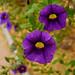 campanillas violetas