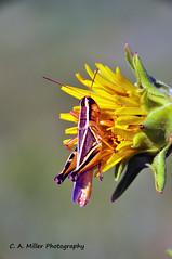 DSC_0229-2.jpg (millerca2001) Tags: flower yellow insect kansas grasshopper flinthills lowcontrast infocus highquality buggznbugz elementsorganizer