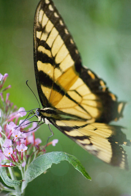 tiger swallowtail feeding