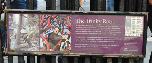 Trinity17 Sycamore Root Story