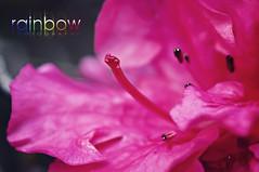 Pink Flower (BJRainbow) Tags: pink flower macro nikon pinkflower superhero superheroes odc gamewinner rainbowphotography herowinner ourdailychallenge noosaphotographer