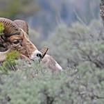 Bighorn Sheep - 6925bsg
