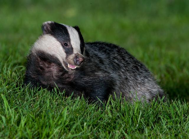 badger 4