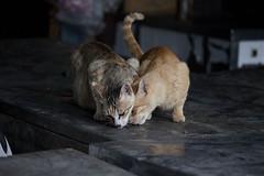 003_MG_4075_(021) (gym.king) Tags: pet cats pets animal cat kitten kittens planet     straykittens     kissablekat bestofcats  kittyschoice  catmoments  catswelove friendsofzeusphoebe