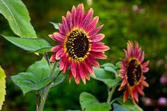 Aug022011_0929-Red-Sunflowers (©Delos Johnson) Tags: flowers canon garden sunflower topaz delos g9 detail4 denoise