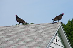 Turkey Vultures on the Empty House (Saline, Michigan) (cseeman) Tags: roof house birds realestate michigan vulture saline turkeyvulture turkeyvultures08302011