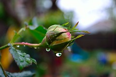 Baby Pierre (Percy Ferry) Tags: flower macro rain rose droplets nikon pierrederonsard flickraward d3100