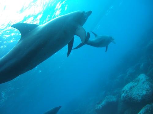 イルカと泳ぐ@御蔵島