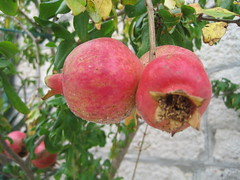 Granatäpfel (DanTheCam) Tags: croatia pomegranate pomegranates brac hrvatska dalmacija kroatien dalmatien granatäpfel granatapfel