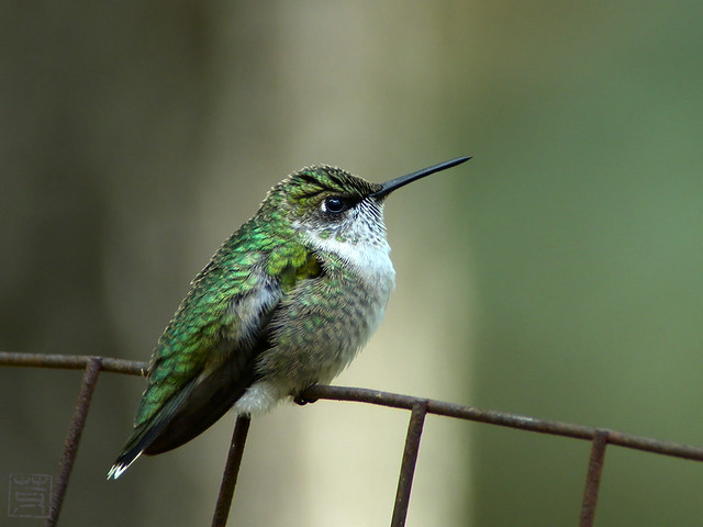 Ruby-throated Hummingbird, Oct 2011