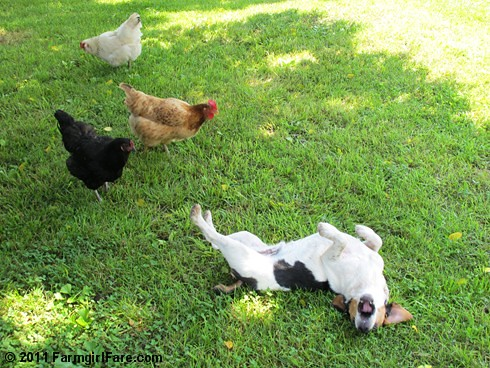 Bert and chickens 1