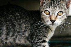 Momo (Nichole Bowen Photography) Tags: cat hawaii eyes momo nikon kitten kitty meow nyan