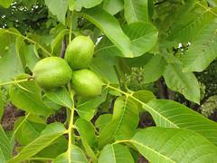 #ds589 - 'Jupiter's acorns' (duckinwales) Tags: tree green walnut nuts edible oxfordshire uffington veneer introduced enland juglansregia englishwalnut persianwalnut commonwalnut jupitersacorns jupitersnut