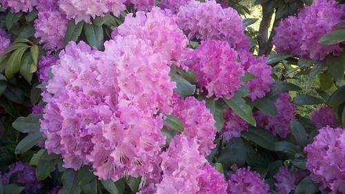 corvallis blooms