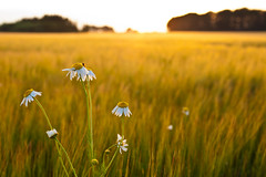Sunset flowers (Håkan Dahlström) Tags: flowers sunset field skåne sweden farming f80 skåne viken 2011 ef50mmf25compactmacro canoneos5dmarkii ⅛sek