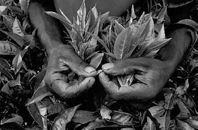 Colheita de ch� numa planta��o perto de Cyangugu, Ruanda, 1991.