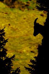Le gardien (Le Monde Chromatique) Tags: mountain nature animals montagne alpes sophie animaux contrejour sapin backlighting ombres chamois isard bouquetin mouflon narses