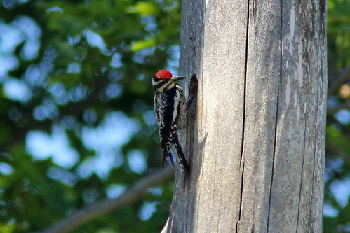Yellow-bellied Sapsucker, Female