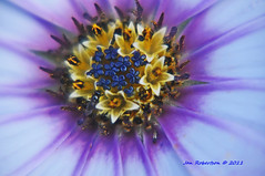 flowers within flowers within a flower (janjansfotos) Tags: flowers summer nature daisy osteospermum 2011 simplyflowers capedaisy magnificationfilters
