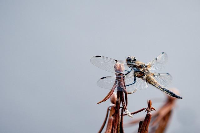 Dragönfly