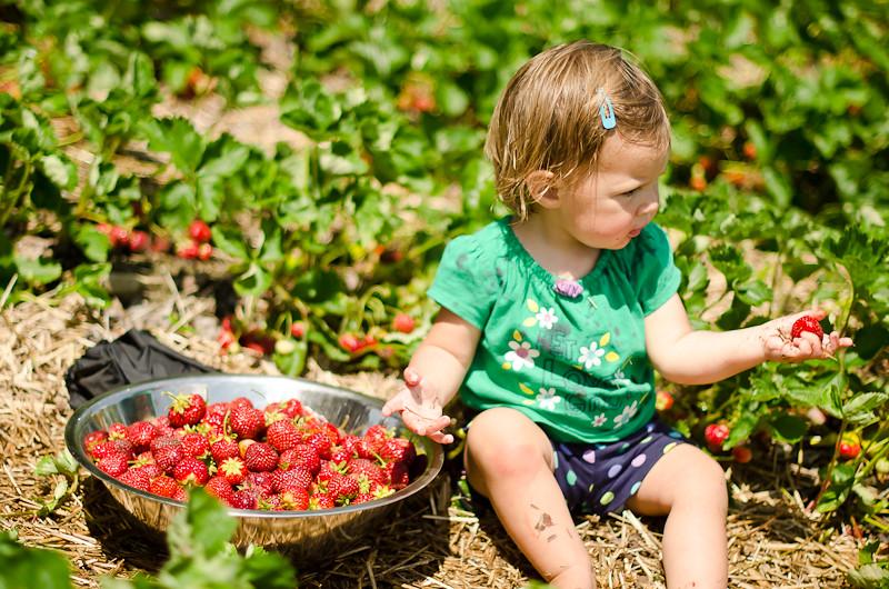 Strawberry Picking14