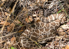 "Pacific Western rattlesnake 3 • <a style=""font-size:0.8em;"" href=""http://www.flickr.com/photos/30765416@N06/5909894799/"" target=""_blank"">View on Flickr</a>"