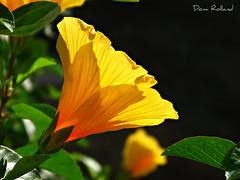 Italienne (Domi Rolland ) Tags: orange fleur canon europe italia lumière venise couleur 2011 natute g9 itale
