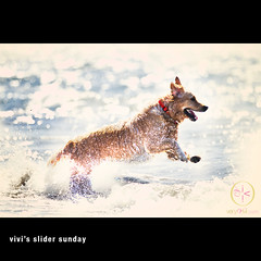 Happy Sliding Sunday (VeryViVi) Tags: ocean sanfrancisco dog cute english beach goldenretriever canon golden hilarious funny artistic creative adorable wave retriever explore 7d doggy amusing vivi bakerbeach hss flickrexplore explored canonef70200mmf28lisusm missvivigold veryvivi slidersunday