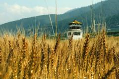 Wheat's Patient (Ai in Technicolor) Tags: yellow bhutan wheat patient giallo grano pazienza
