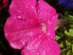 Tau Morgen Blumen - Dew Morning Flowers (athena60_98) Tags: morning pink flowers church washington rosa blumen dew tau morgen yakima