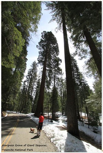 Trekking along Mariposa Grove of Giant Sequoias at Yosemite National Park, California