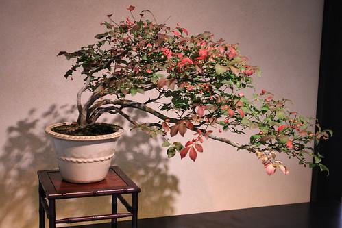 こまゆみ ko-mayumi (Spindle tree) - 盆栽美術館 - bonsai museum