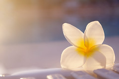 Frangipani (Alex Bramwell) Tags: light sunset summer vacation white flower nature water beautiful yellow warm plumeria dusk floating exotic tropical frangipani glowing backlit poolside gettyimagesiberiaq3