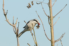 Great Grey Shrike (Lanius excubitor) (m. geven) Tags: food bird nature animal fauna mouse grey feeding native eating nederland thenetherlands natuur raptor prey predator rare dier avian eten birdofprey vogel grijs songbird avifauna gelderland muis scarce laniusexcubitor nld prooi uitkijkpost roofvogel liemers greatgreyshrike zangvogel zeldzaam wintering laniidae inheems klauwier rodelijst piegrichegrise overwinteren klapekster raubwrger overwinteraar wintergast heideveld doortrekker foerageren gemeentezevenaar hoogveen scarcebreedingbird ernstigbedreigd rodelijstnederland redlistnetherlands zeerzeldzamebroedvogel piegrichegrise nederlandthenetherlandsniederlande haaksnavel raubwrger haakvormigesnavel seriouslytrheatened redlistrodelijstsoort rodelijstvogels verhoogdezitplaats schaarsewintergast oogstreep