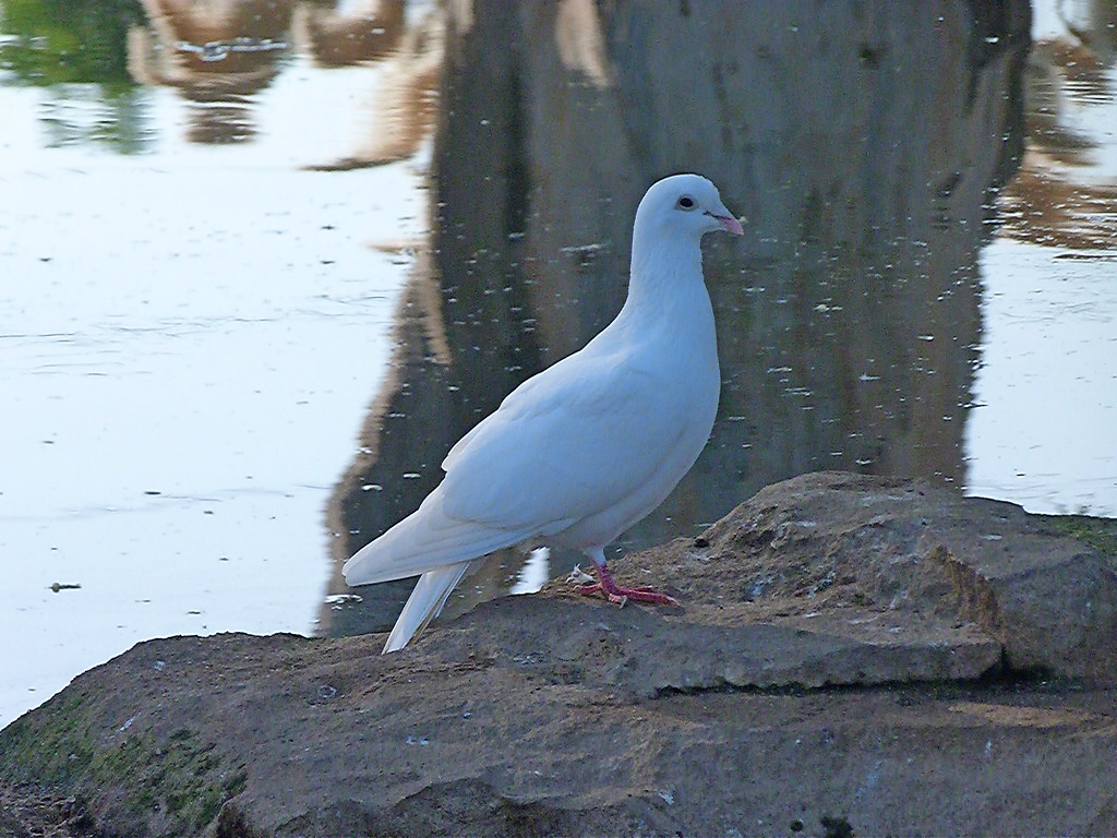 15-10-2011-white-pigeon