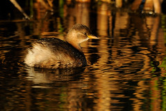 Little Grebe (Tachybaptus ruficollis) (m. geven) Tags: autumn reflection bird fall nature water animal swimming gold klein ditch adult small herfst nederland thenetherlands natuur waterbird september dier waterside avian vogel avifauna goud gelderland migrant weerspiegeling fuut browntones winterplumage nld najaar jaarvogel littlegrebe tachybaptusruficollis schuw liemers dodaars zwemmend waterkant lisdodde migratingbird watervogel poldersloot zwergtaucher grbecastagneux breedingbird winterkleed overwinteraar broedvogel volwassenvogel doortrekker bruintint gemeentezevenaar podicepedidae nederlandthenetherlandsniederlande grbecastagneux