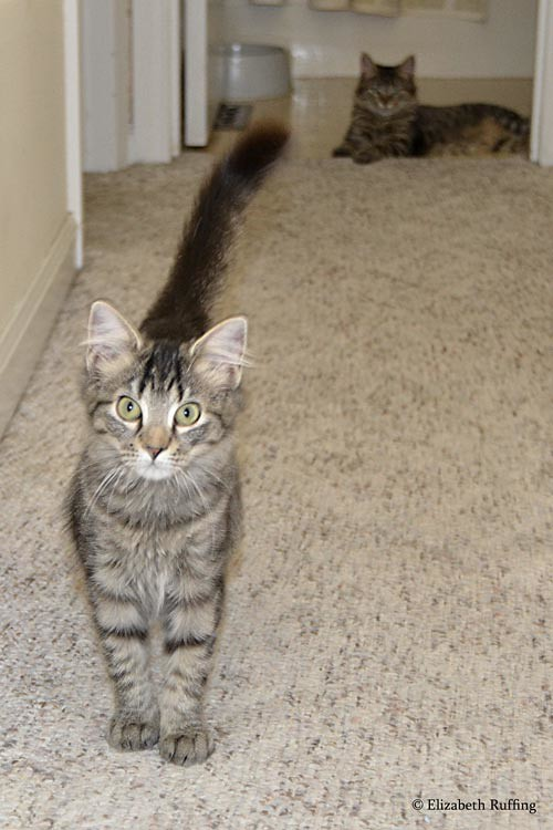 Tabby kittens explore the hall