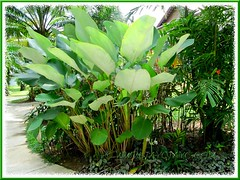Flowering Calathea lutea (Cigar Calathea, Cuban/Havana Cigar, Pampano) at Felda Residence Hot Springs in Sungkai