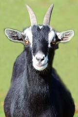 Goat (Brian E Kushner) Tags: new nature animal lens nikon farm wildlife nj goat jersey f4 vr atco nikor 200400 vrii d7000 bkushner brianekushner nikond7000 nikon200400mmf4gedifafsvrzoomnikkorlens
