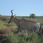 "Kudu <a style=""margin-left:10px; font-size:0.8em;"" href=""http://www.flickr.com/photos/14315427@N00/6298736369/"" target=""_blank"">@flickr</a>"