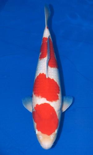 Wada Kohaku 53cm