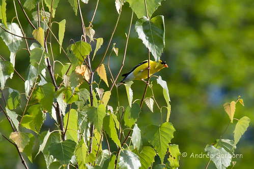 American Goldfinch (Carduelis tristis)  -3.jpg