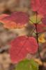 Acer rubrum (Eric Hunt.) Tags: red tree fall yellow maple littlerock fallfoliage acer arkansas boylepark sapindaceae